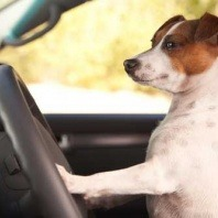 jack russell driving car