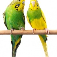 Budgerigars - budgies on stick