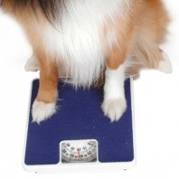 collie on weight scale