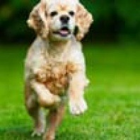 spaniel-running-on-grass