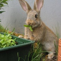 feeding-and-nutrition-for-your-rabbit