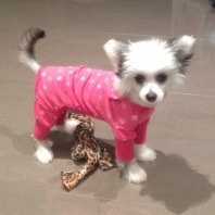 chinese-crested-pedigree-total-wellness-plan-member-of-the-month