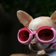 cool-dog-star-chihuahua-with-sunglasses
