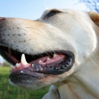 steps-to-examining-your-dogs-teeth-and-gums
