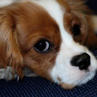 cavalier-king-charles-puppy