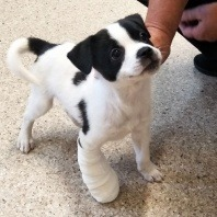 spot-wearing-a-splint-for-his-fracture-treated-by-vet-west-that-also-offers-puppy-vaccinations-dog-desexing-and-best-parvo-treatment