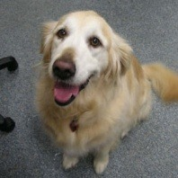 xena-an-eight-year-old-golden-retriever