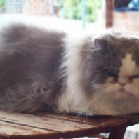 mills-the-persian-cat