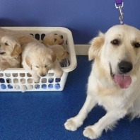 golden-retriever-puppies-and-their-mom