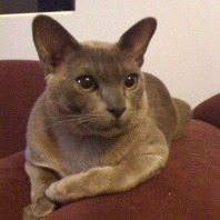 ninja-the-eight-month-old-burmese-kitten