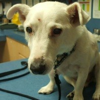 spot-is-a-friendly-jack-russell