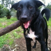 ziffhe-a-two-year-old-kelpie-cross-border-collie