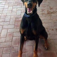 chester-the-3-year-old-male-doberman