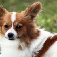 brandy-the-papillion-receives-behavioural-condition-from-dr-kriszty
