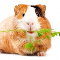 heat-stress-in-guinea-pigs