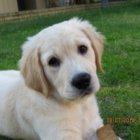 golden-retriever-fully-recovered-after-bee-sting-incident