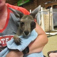 grey-kangaroo-survives-bullsbrook-bushfire