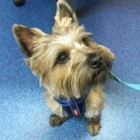 vetwest-alfie-the-cairn-terrier-veterinary-advice-for-dogs-symptoms
