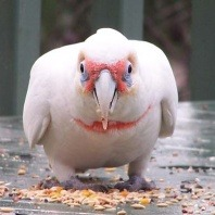 gonzo-the-friendly-long-billed-corella
