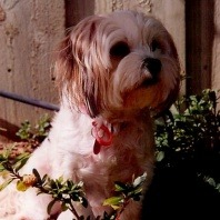 jade-the-seven-year-old-shi-tzu-maltese-cross