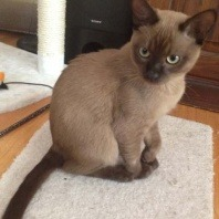 Jax the 8month old chocolate Burmese loves to cause trouble!