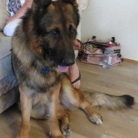 johnny-the-german-shepherd-diagnosed-with-testosterone-driven-behavior-to-be-treated-with-non-surgical-castration