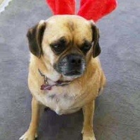 Lulu the Pugalier getting in the Xmas spirit