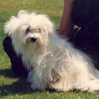 pepe-the-eleven-year-old-maltese-shih-tzu