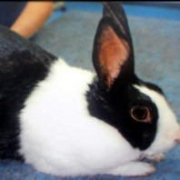 annabelle-a-female-black-and-white-rabbit