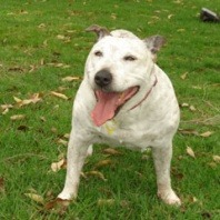 tessa-is-a-14-year-old-staffordshire-bull-terrier-cross