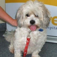 tilly-the-five-year-old-female-maltese-cross