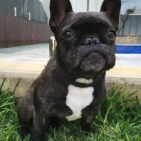 vetwest-lola-the-french-bulldog-problems-with-hind-legs-similar-to-symptoms-hip-dysplasia-in-dogs