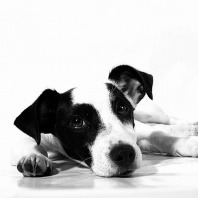 black-and-white-dog-posing-for-our-lost-and-found-service