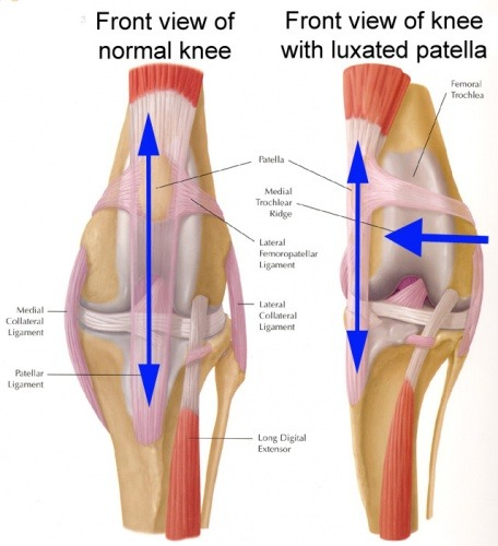 Luxating Patella A Knee Cap Problem In Dogs